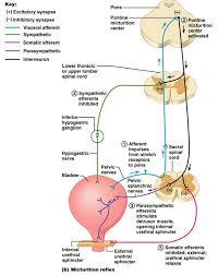 Visceral Somatic Reflex 55 Best Gross Anatomy Images On Pinterest Medicine Nursing