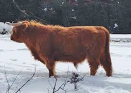 Backyard Cattle Raising Raising Highland Cattle For Beef Countryside Network