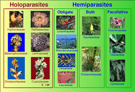 introduction to parasitic flowering plants a piece of garden