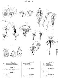 Fig Flower - native flowers of new zealand anatomical drawings wikisource