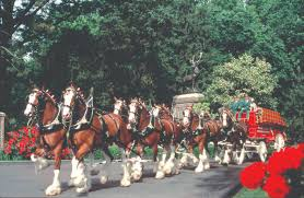 gentle giants budweiser clydesdales to make rare appearance for