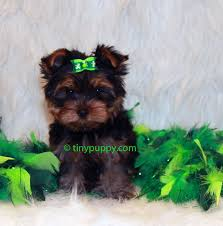 tea cup yorkie hair cuts 26 brilliant teacup yorkie haircuts dohoaso com
