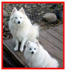 american eskimo dog energy level adopt a cat or a dog at savearescue