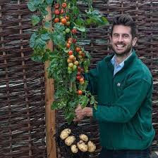 tomtato tomatoes and potatoes on the same plant onejive