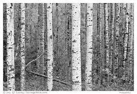 black and white picture photo birch tree forest voyageurs