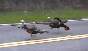 thanksgiving turkey gun guns run animated gif popkey