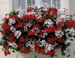 geranien balkon rote und weiße geranien garten auf dem balkon