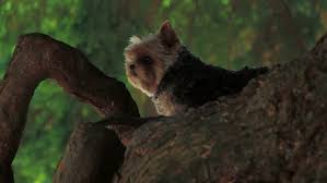 yorkie up in a tree then lays stock footage 4963634