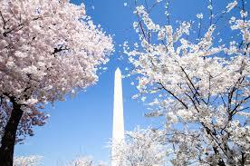 a guide to washington d c u0027s cherry blossom festival