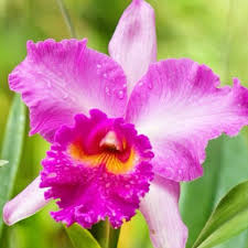 Flower Of Orchid - 177 best floral cattleya images on pinterest cattleya orchid