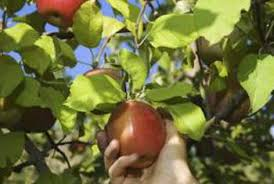 Best Fruit Trees For North Carolina - chemicals for fruit trees home guides sf gate
