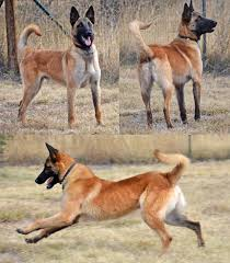belgian malinois import pup for sale family companion u0026 agility dogs for sale belgian malinois family