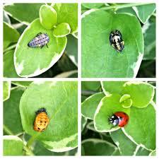 baby ladybugs hatching in my garden aww