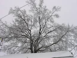free picture snowy tree
