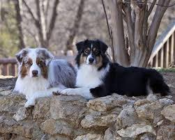 australian shepherd velcro dog sazbrat australian shepherds home facebook