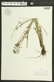 plants native to alabama rhynchospora nitens species page apa alabama plant atlas