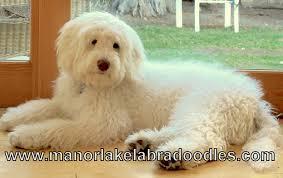 australian shepherd labradoodle manorlake australian labradoodle customer testimonials manor