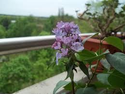 flieder balkon wenn der weiße flieder wieder blüht