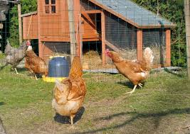 Can I Raise Chickens In My Backyard Backyard Chickens 5 Best Breeds For Egg Layers