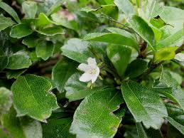 Teh Tehan teh tehan shrub fruit about 5 mm in diameter flower abou flickr