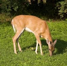 lawn care tip make your garden a no feeding zone for deer lawn