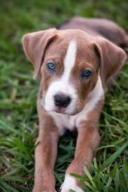 american pit bull terrier lab mix pitweiler red nose pitbull lab mix puppy american pit bull terrier