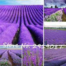 Fragrant Potted Plants - lavender seeds 200seeds pack french provence lavender flowers very