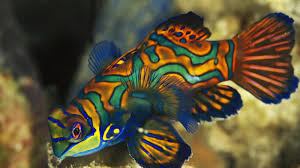 afghan hound mandarin aquarium fish mandarin fish animals library