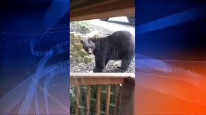 cabin cleaner comes face to face with black bear