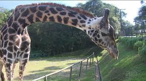 www vagas vigia curitiba ultimas girafa nascida no zoológico de curitiba completa 29 anos g1 paraná