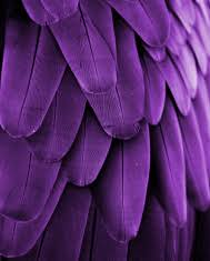 purple feather violet feathers stock photos freeimages