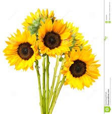 bouquet of sunflowers sunflower bouquet isolated on white royalty free stock photos