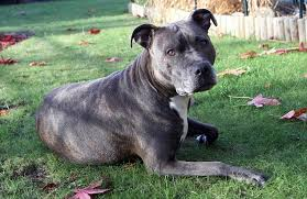 american pitbull terrier uk law coma boy u0027s dog tascha the staffy wins reprieve to keep up bedside