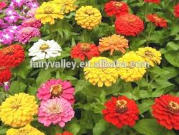 Zinnia Flowers World Top Quality Flower Seeds Hybrid F1 Zinnia Flowers Seeds For
