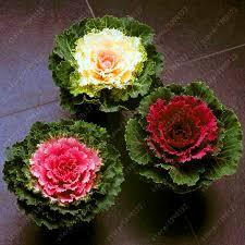 get cheap ornamental kale aliexpress alibaba