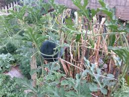 watermelon growing general gardening growing fruit