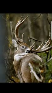 Whitetail Deer Home Decor by 56 Best Whitetail Deer Images On Pinterest Deer Hunting Hunting