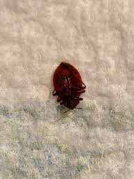 What Do A Bed Bug Look Like What Does A Bed Bug Look Like Bed Bugs London