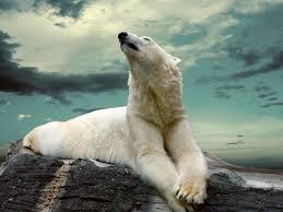 white polar bear polar bears have an excellent sense of smell and