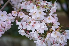 cherry blossom pics 2018 japan cherry blossom forecast kyuhoshi