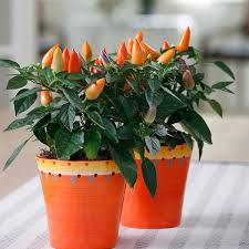 acapulco orange ornamental pepper