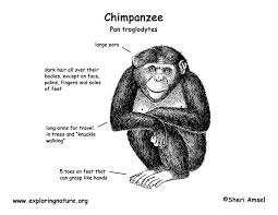 chimpanzee coloring pages finest chimpanzee coloring pages with