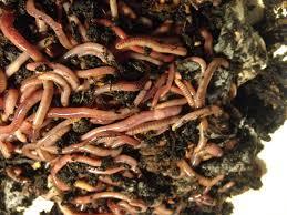 hooknworms 2 pounds european nightcrawlers garden compost