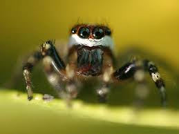 jumping spider desktop and mobile wallpaper animals town