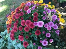 growing mums choice fall garden decor