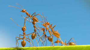 fire ants symptoms treatments