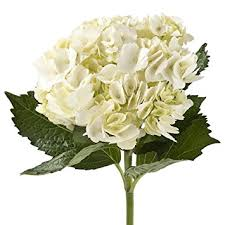 hydrangea white wholesale hydrangeas 40 white fresh cut format