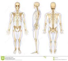 Human Anatomy Anterior Human Anatomy Diagram Human Anatomy Skeleton Model Particularly