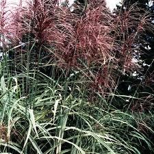 252 best foliage images on ornamental grasses garden