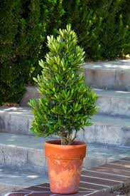 Potted Patio Trees by Little Ollie Dwarf Olive Monrovia Little Ollie Dwarf Olive